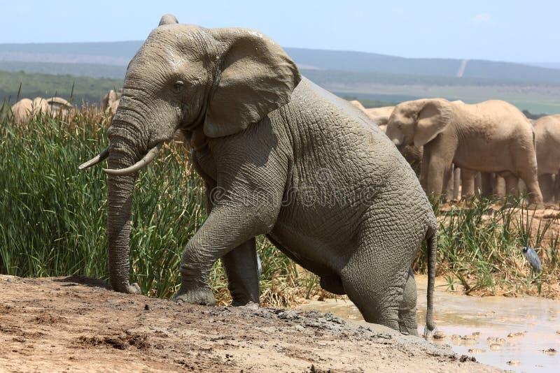 Olifant die uit Modderbad beklimmen stock fotografie
