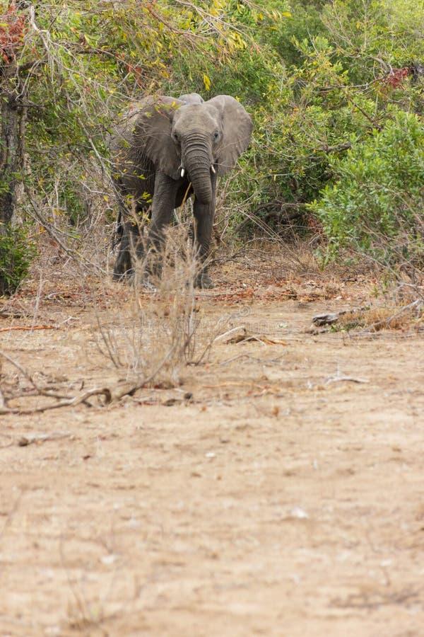 Olifant die van de dichte groene struiken naderbij komen die naar de kudde zoeken stock fotografie