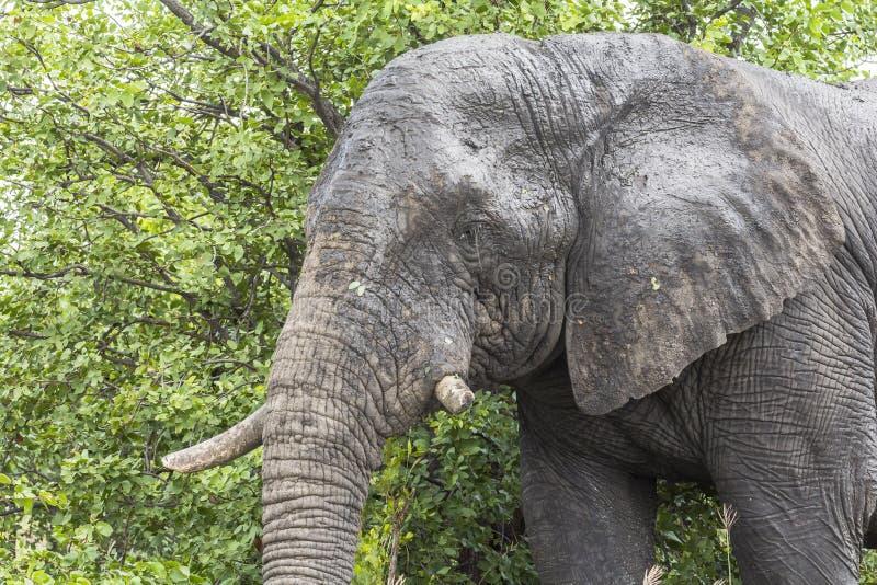 Olifant die zich binnen Kruger Nationalpark, Zuid-Afrika bevinden stock fotografie