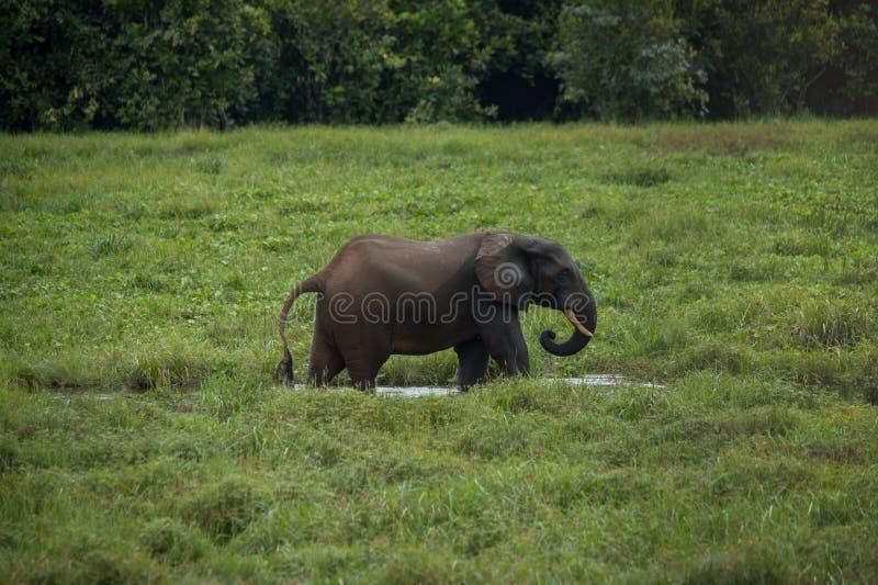 Olifant die zich in profiel in het water onder het groene gras bevinden (de Kongo) royalty-vrije stock fotografie