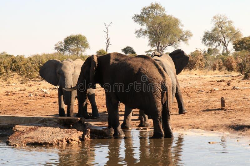 Olifant die zich in water bevinden stock foto
