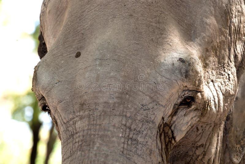 Olifant in gevangenschap royalty-vrije stock afbeelding