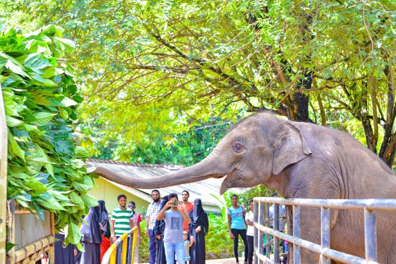 Olifant het voeden op verse bladeren, Sri Lanka stock foto's