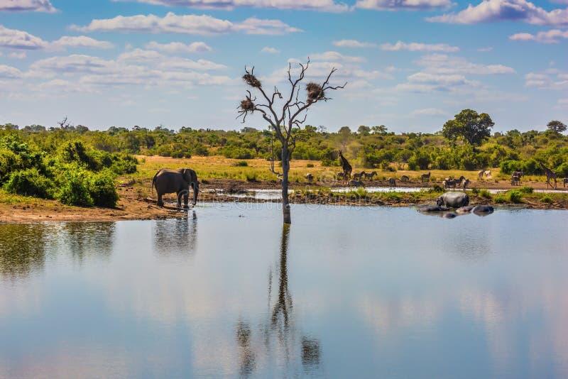 Olifant, kudde van zebras en een paar giraffen stock fotografie