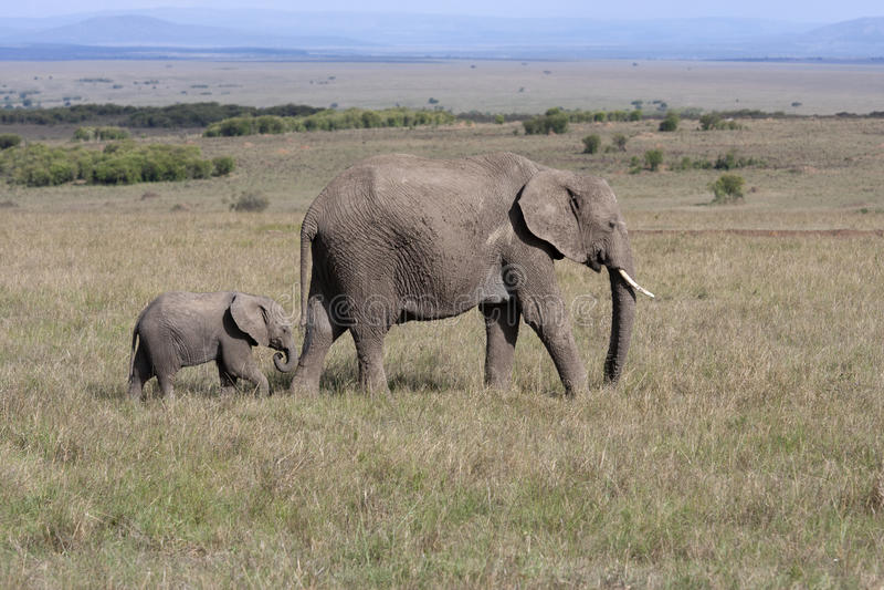 Olifant met babyolifant die op de Afrikaanse savanne in Amboseli lopen stock afbeelding