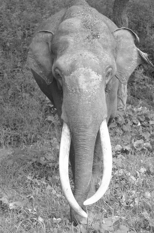 Olifant met grote slagtand stock afbeeldingen