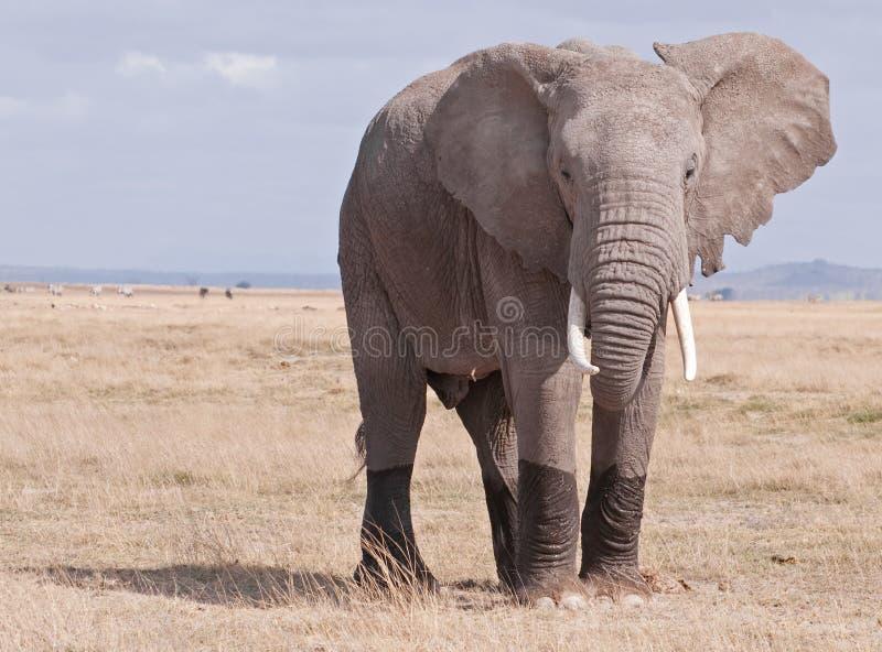 Olifant op Masai Mara royalty-vrije stock afbeelding