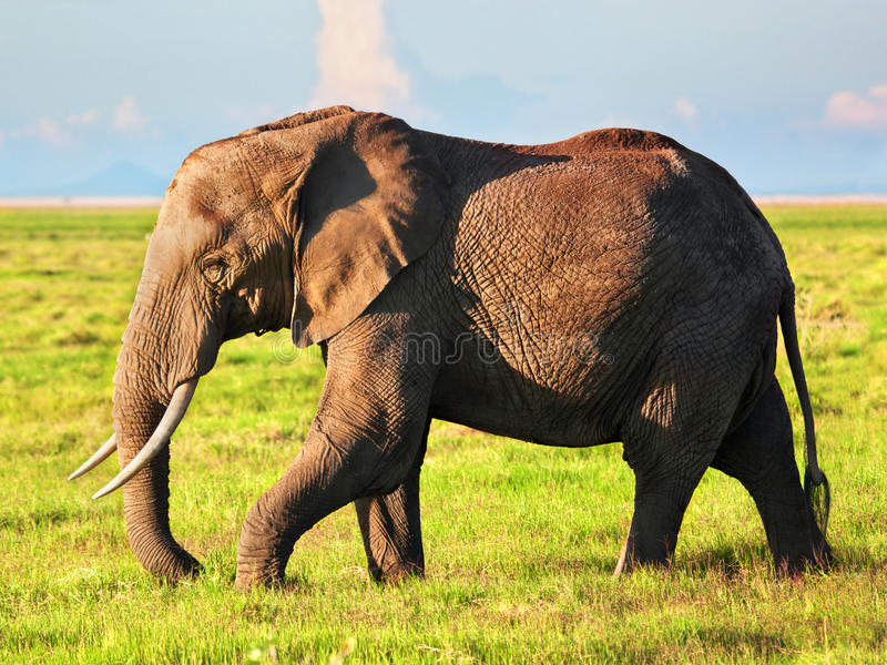 Olifant op savanne. Safari in Amboseli, Kenia, Afrika royalty-vrije stock fotografie