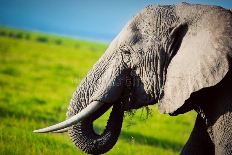 Olifant op savanne. Safari in Amboseli, Kenia, Afrika stock foto