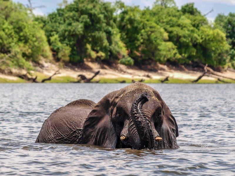 Olifant in rivier stock foto