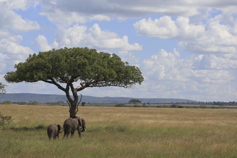 Olifant in serengeti royalty-vrije stock foto's