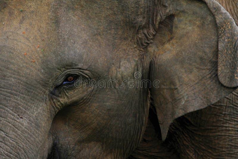 Olifant in Sri Lanka royalty-vrije stock afbeeldingen