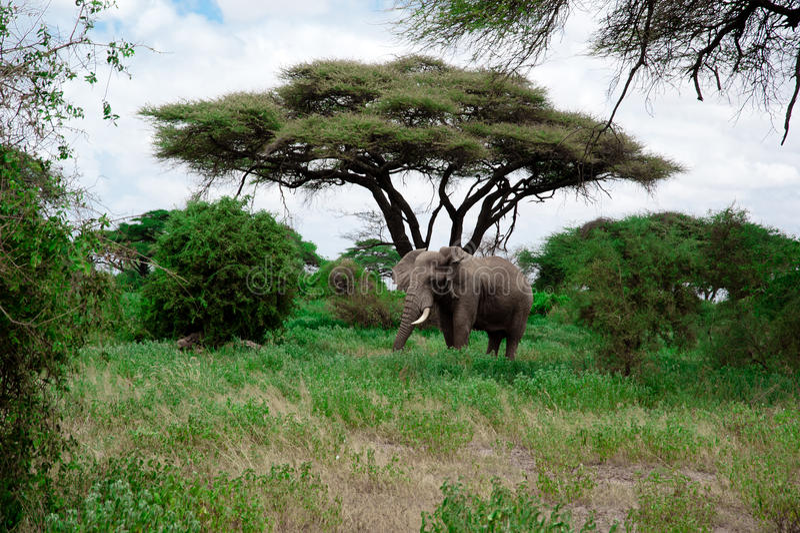 Olifant van Afrika royalty-vrije stock afbeeldingen