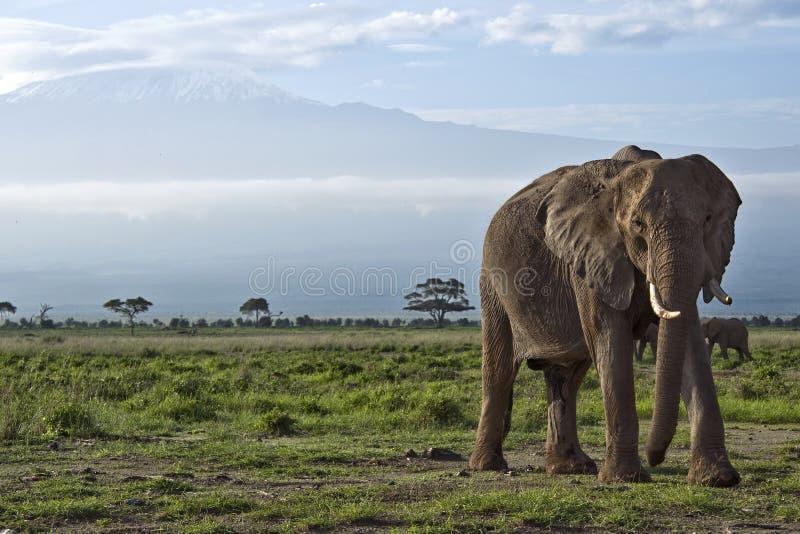 Olifant voor Kilimanjaro stock fotografie