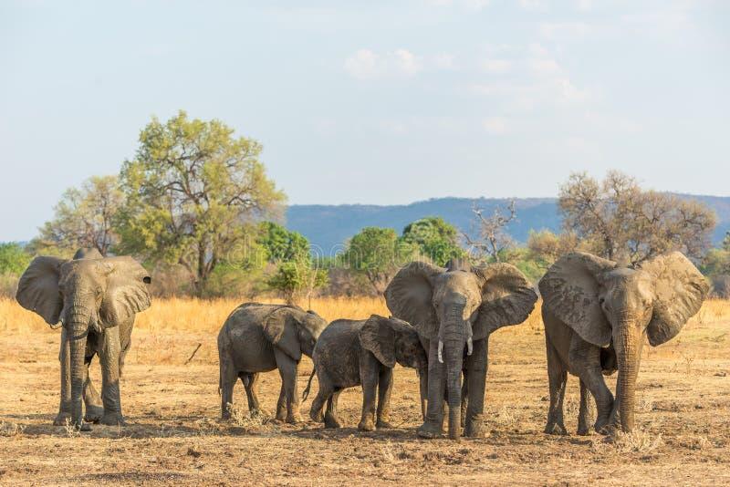 olifanten stock afbeelding