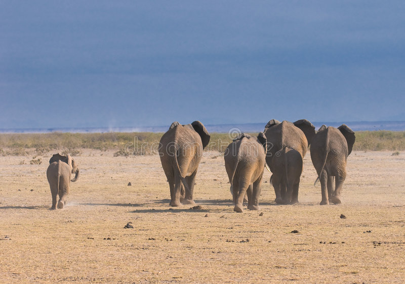 Olifanten, achtermening, amboseli, Kenia stock fotografie
