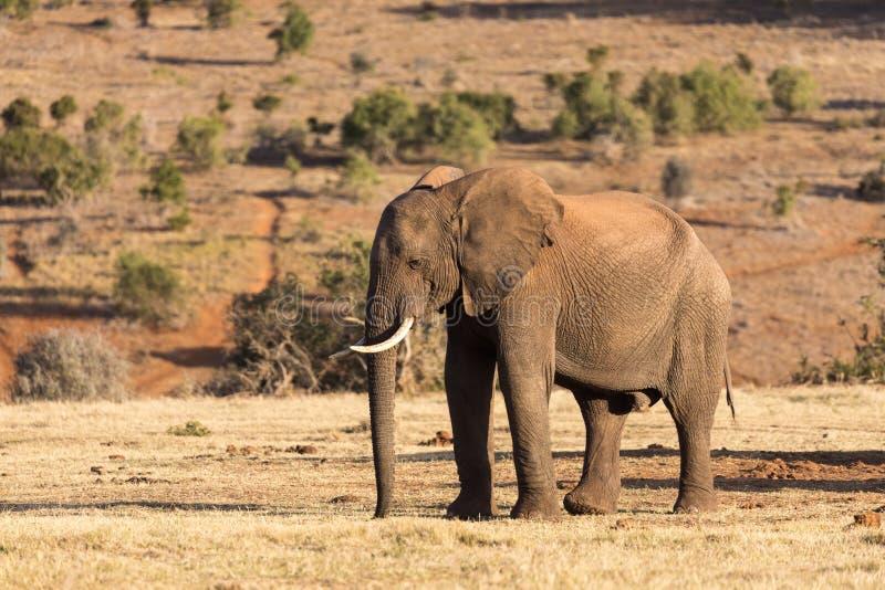 Olifanten in Addo Elephant National Park in Port Elizabeth - Zuid-Afrika royalty-vrije stock fotografie