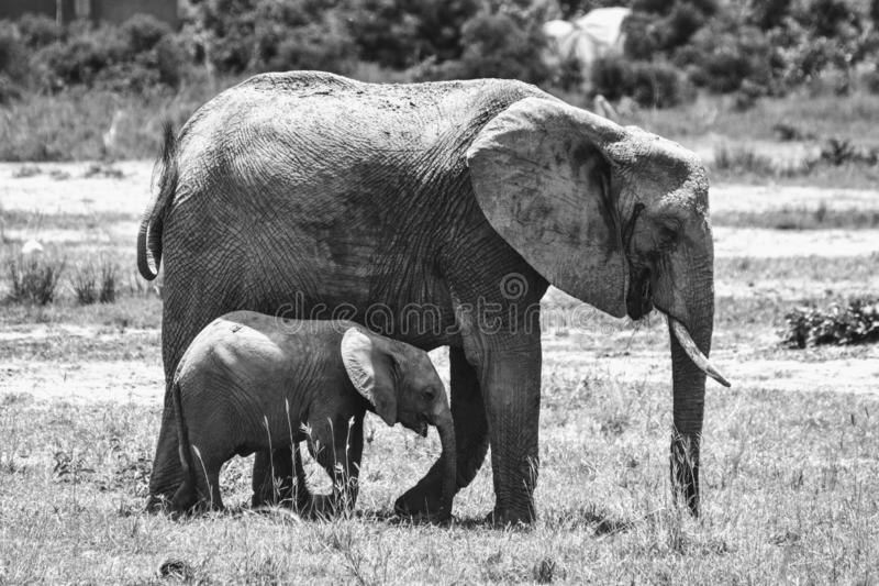 Olifanten in Afrika royalty-vrije stock fotografie
