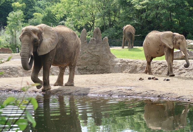 Olifanten bij de Dierentuin stock afbeelding