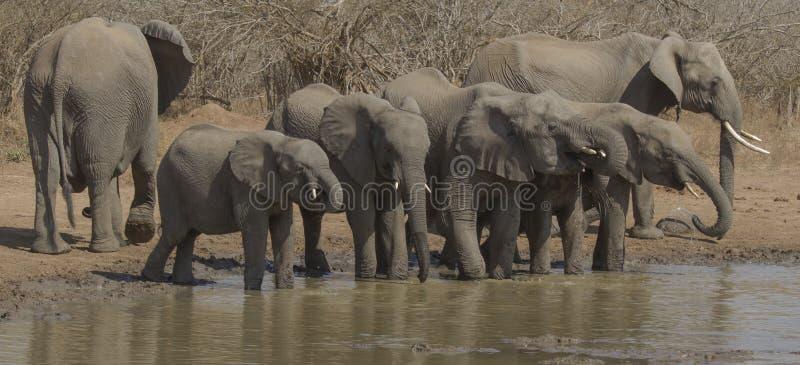 Olifanten bij waterhole stock foto's