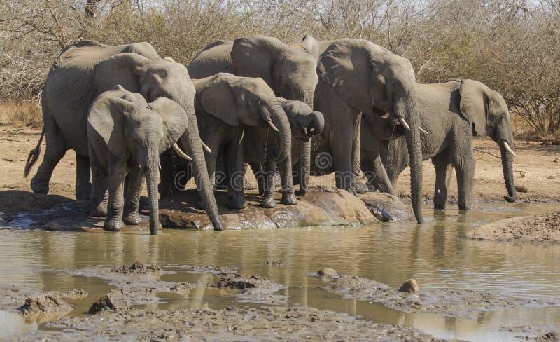 Olifanten bij waterhole royalty-vrije stock afbeelding
