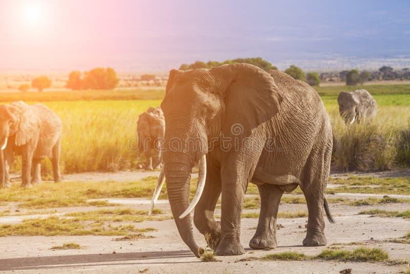 Olifanten bij zonsondergang in Kenia safari royalty-vrije stock foto
