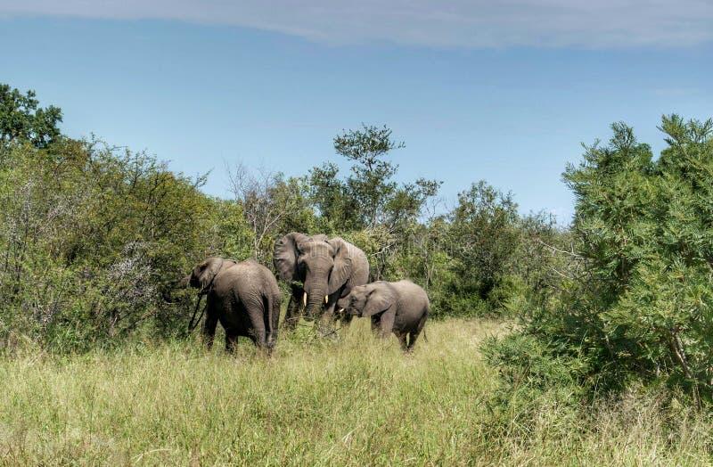 Olifanten in de aard stock afbeeldingen