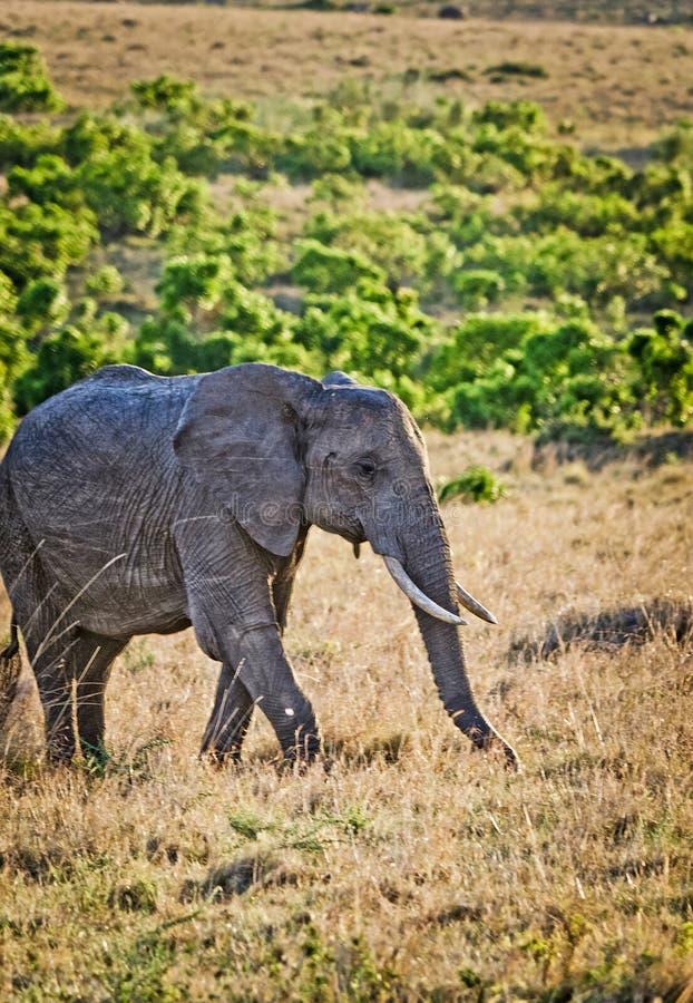 Olifanten in de Afrikaanse savanne royalty-vrije stock foto's