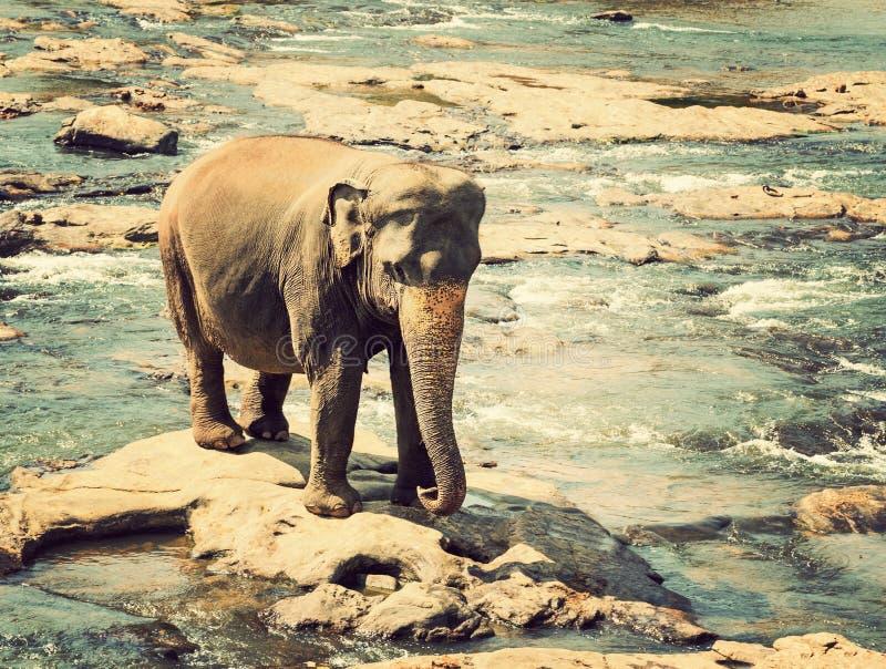 Olifanten in de rivier stock foto's