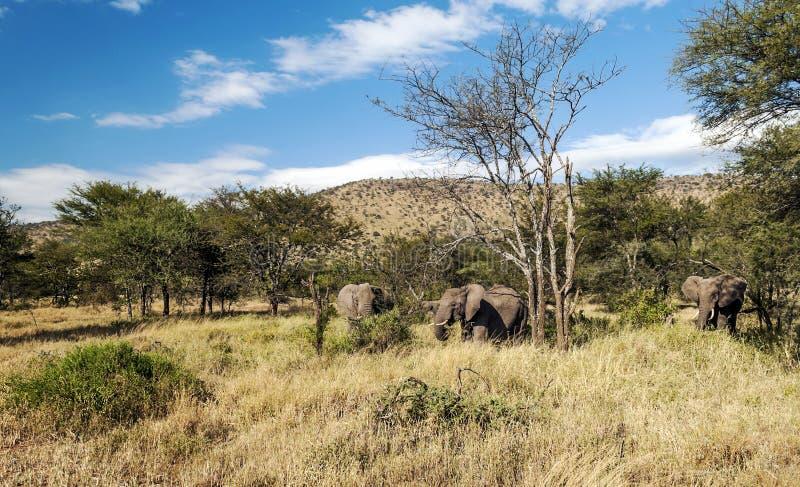 Olifanten in de savanne van Tanzania stock afbeelding