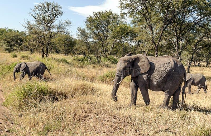 Olifanten in de savanne van Tanzania royalty-vrije stock afbeelding