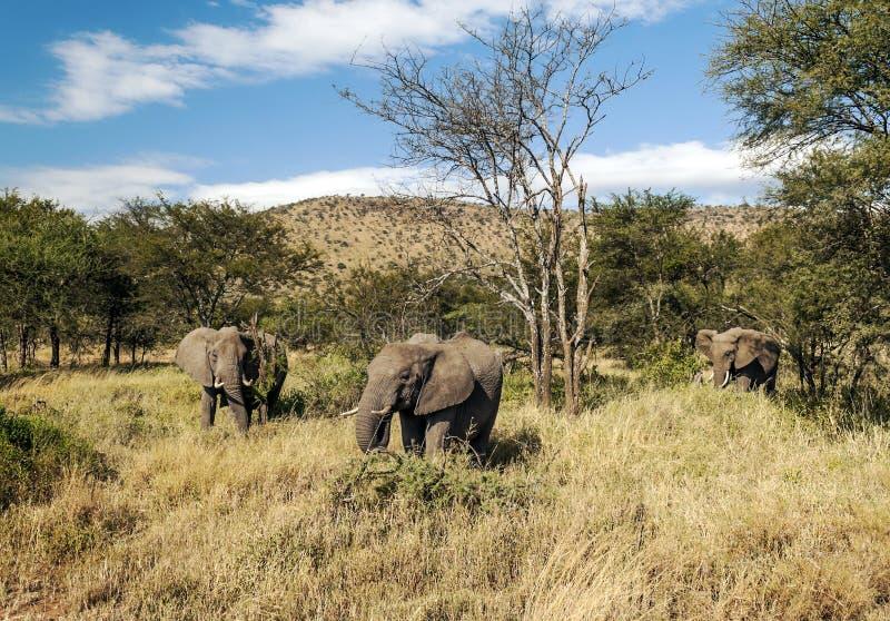 Olifanten in de savanne van Tanzania stock foto