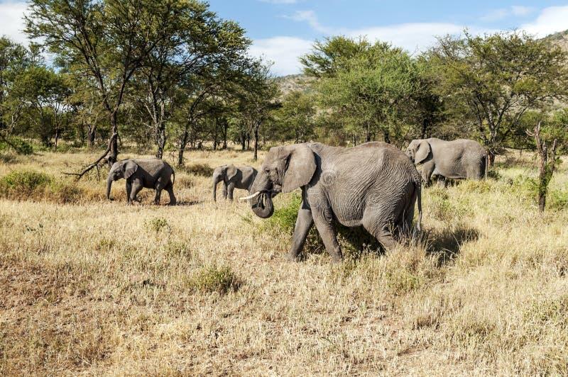 Olifanten in de savanne van Tanzania royalty-vrije stock foto's