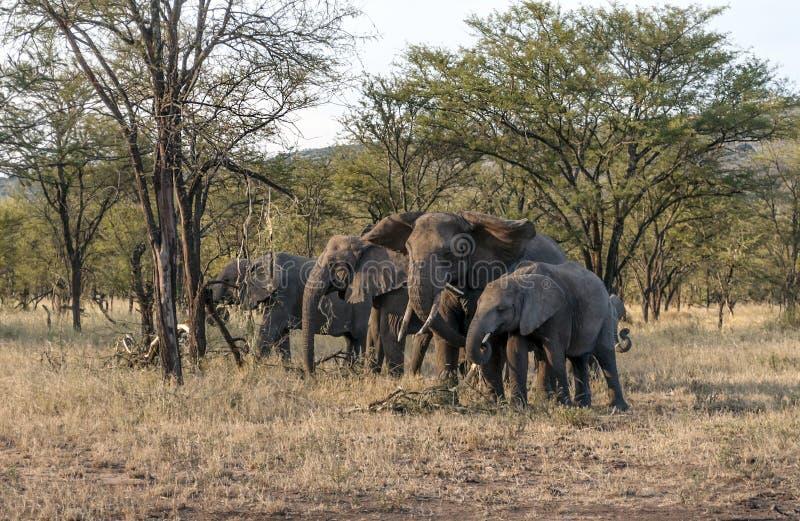Olifanten in de savanne van Tanzania stock afbeeldingen