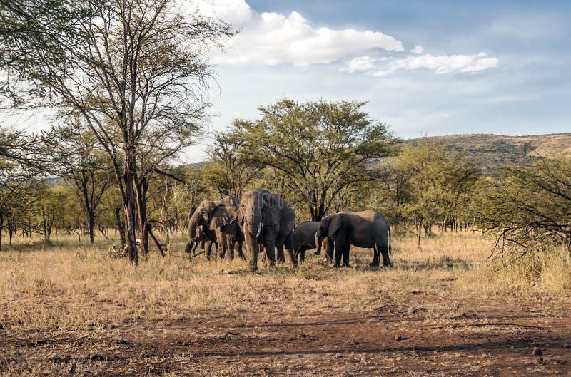 Olifanten in de savanne van Tanzania stock fotografie