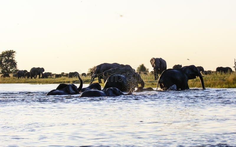 Olifanten die de Chobe-rivier kruisen stock foto's
