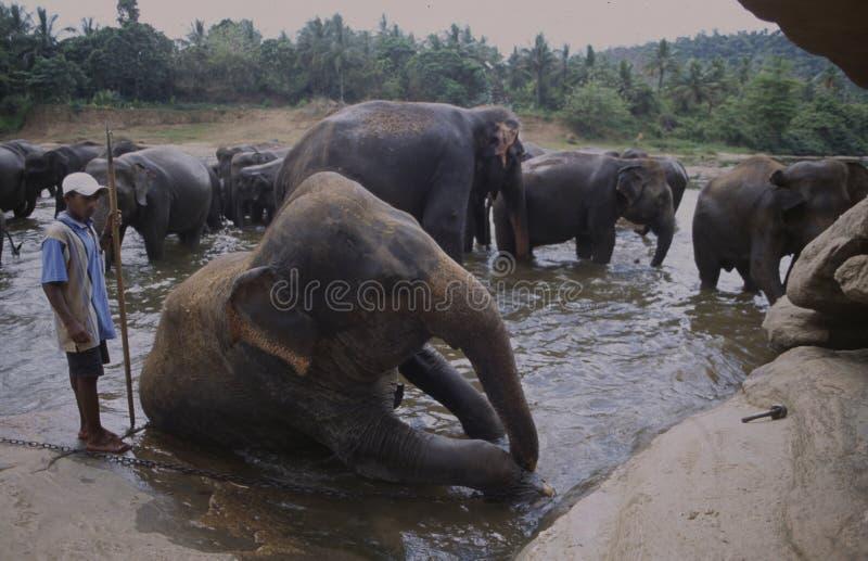 Olifanten die een bad in de rivier nemen bij Phinawela-Olifant Orp stock afbeelding