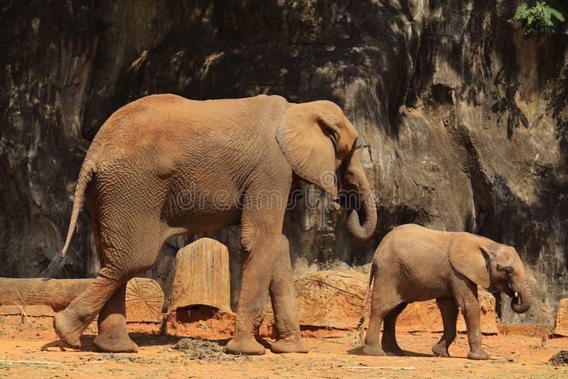 Olifanten in dierentuin stock afbeelding