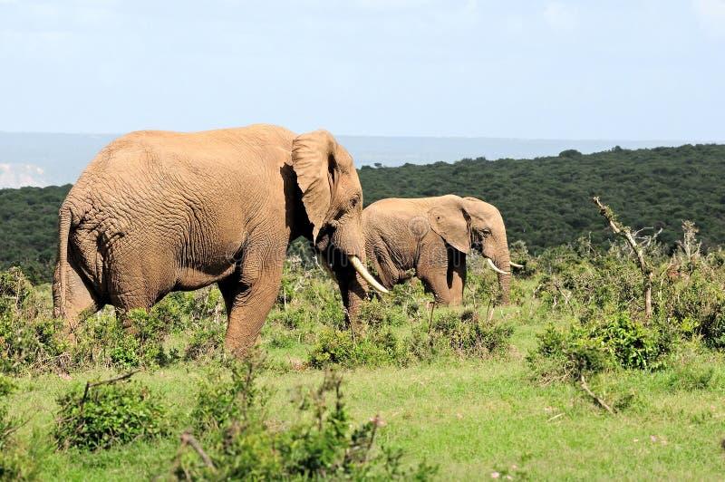 Olifanten, het Nationale park van de Olifant Addo, Zuid-Afrika stock foto