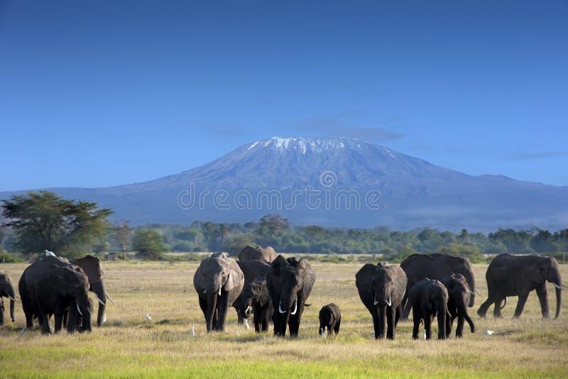 Olifanten in het Nationale Park van Kilimanjaro stock afbeelding