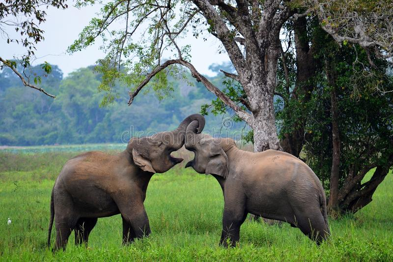 Olifanten in liefde, Sri Lanka stock afbeeldingen