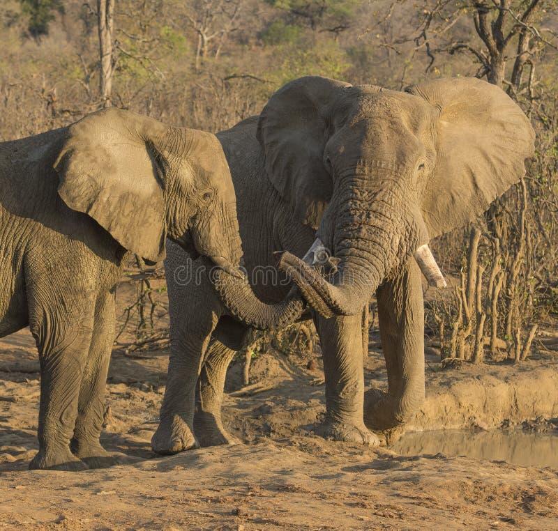 Olifanten, Loxodonta die, jonge stieren bij waterhole spelen stock afbeelding