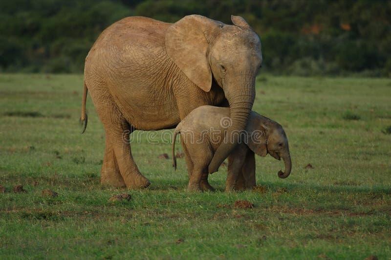 Olifanten - moeder en baby stock foto