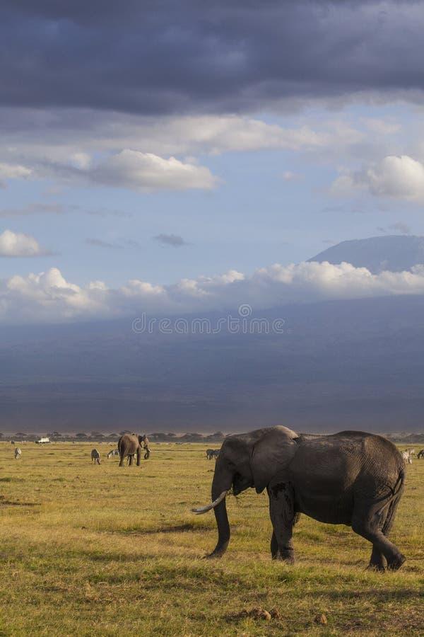 Olifanten in nationaal park Amboseli royalty-vrije stock afbeelding