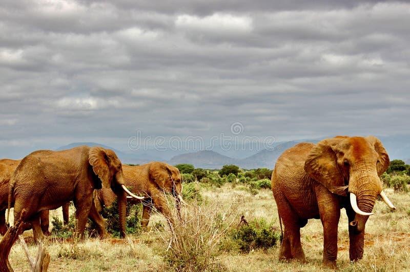 Olifanten op de safari royalty-vrije stock afbeeldingen