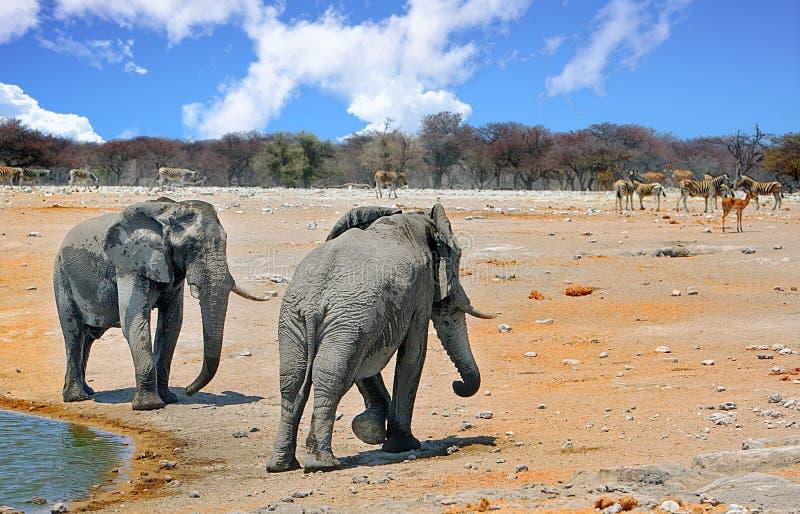Olifanten op de vlaktes naast een waterhole in Etosha met een blauwe bewolkte hemel royalty-vrije stock foto