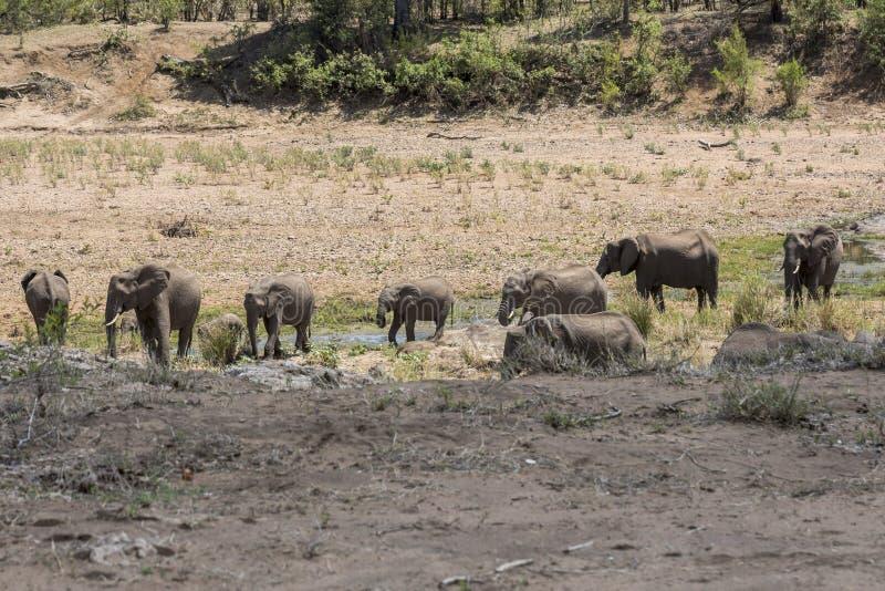 Olifanten samen in droog Kruger-Park stock afbeelding