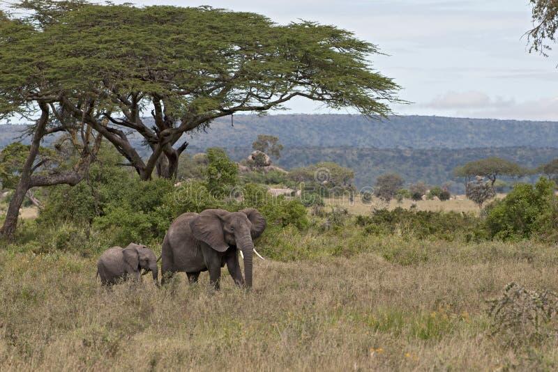 Olifanten in Serengeti Nationaal Park, Tanzania stock foto's
