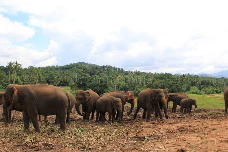Olifanten in Sri Lanka stock afbeelding