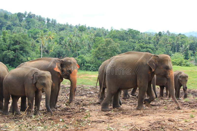 Olifanten in Sri Lanka royalty-vrije stock afbeeldingen